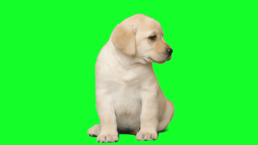 funny labrador puppy with tongue sticking out sitting on a green screen