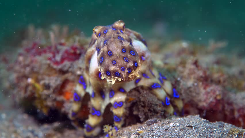 Bluering Octopus (Hapalochlaena Sp.) Hunting Stock Footage ...