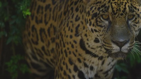 Amazing jaguar closeup in a rain forest - Brazilian and South America wild animals - Shot with RED cinema camera