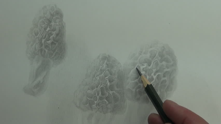 Drawing of morel mushrooms with graphite