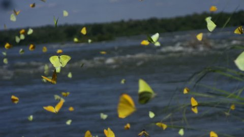 Beautiful butterflies, landscape, background, freedom, flying on river. Brazil RED cinema camera