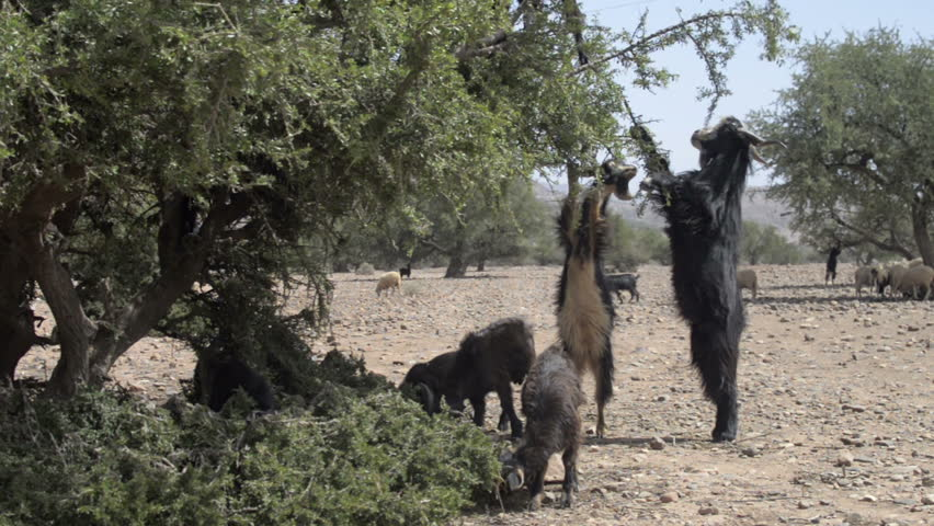 Herd of goats climbed the Organ trees and eat leaves in Morocco