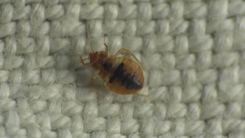 Bedbug insect parasite on the sheet in bed at night, macro | Shutterstock HD Video #15918154