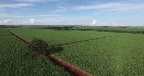 sugar cane field with isolated tree in Sao Paulo Brazil - Aerial dolly out over sugar cane field - sugar cane plantation
