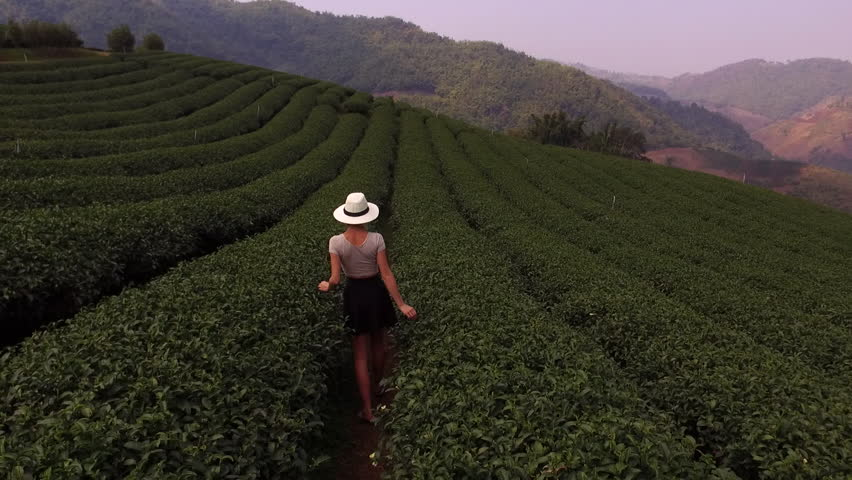 Aerial shooting from drone of a young woman wanderer in sun hat is walking along field of tea bushes during her summer trip abroad. Female enjoying of amazing view of a coffee plantations | Shutterstock HD Video #15942805