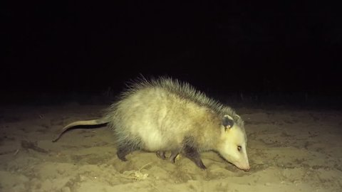 Opossum Stock Video Footage - 4K and HD Video Clips   Shutterstock