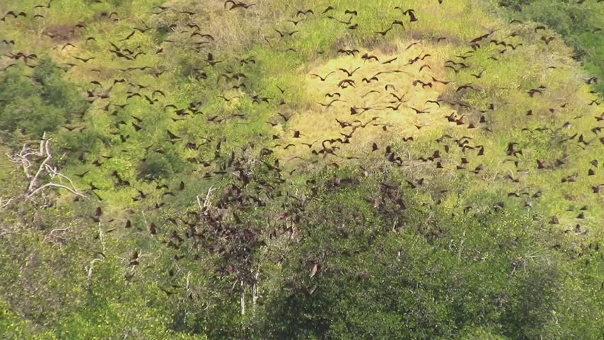 Giant fruit-eater bats (Flying Foxes - Pteropus) flying over the mangrove