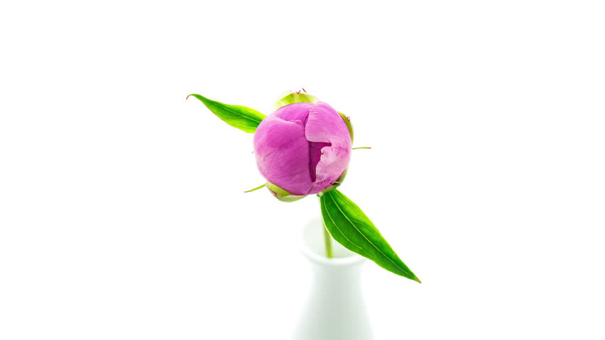 Timelapse of pink peony flower in vase blooming on pure white background top view