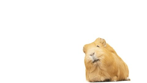 guinea pig says on a white background