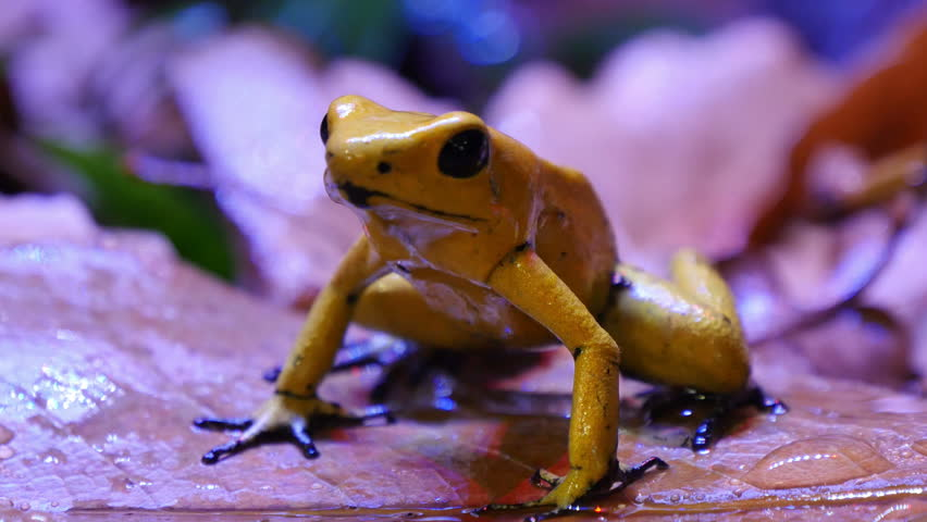 Golden Poison Dart Frog. The golden poison frog, Phyllobates terribilis, also known as the golden frog, golden poison arrow frog, or golden dart frog, is a poison dart frog endemic to Colombia.