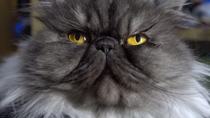 close up of cute fluffy kitten, beautiful Persian grey cat, exotic cat seeing camera #16091701