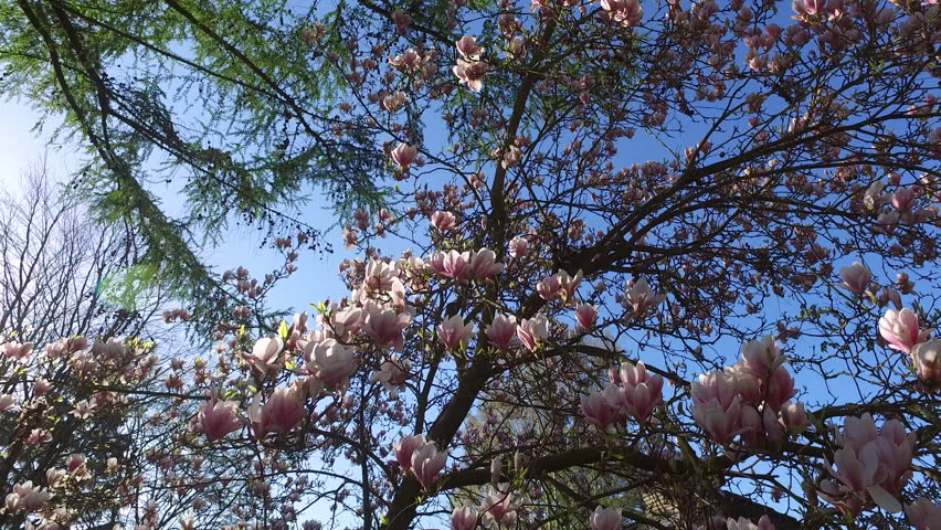 4k0009blooming Magnolia Tree On A Sunny Day In Spring Sun And