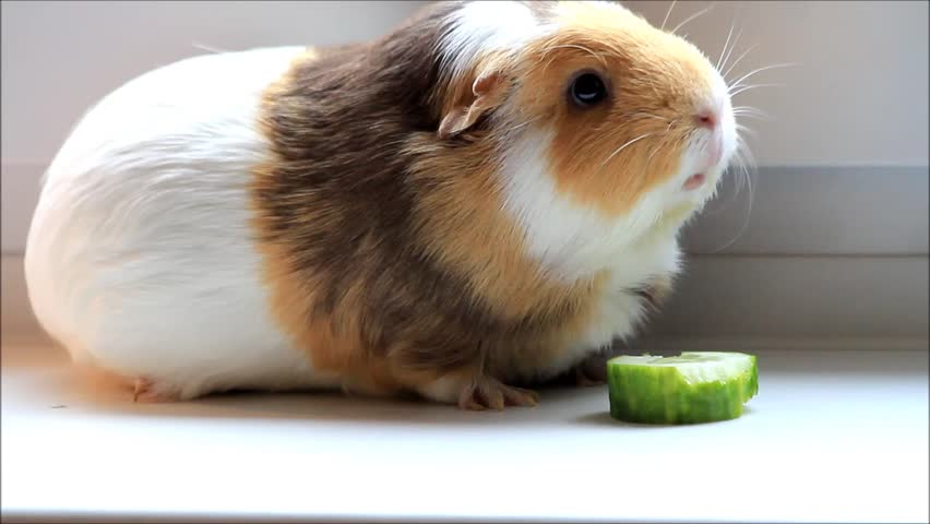 pet guinea pig nibbling vegetables