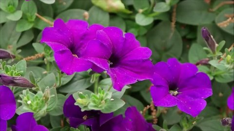 purple petunia bloom