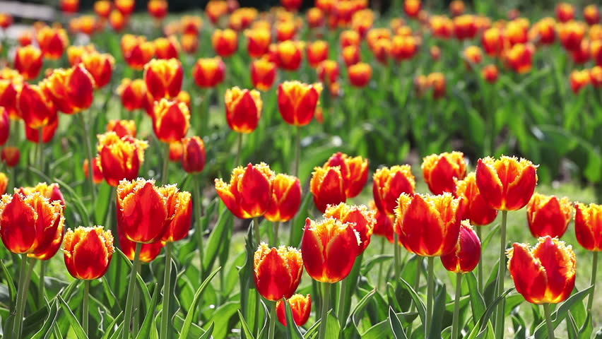 Tulips. A lot of red tulips swaying in the wind. - HD stock video clip