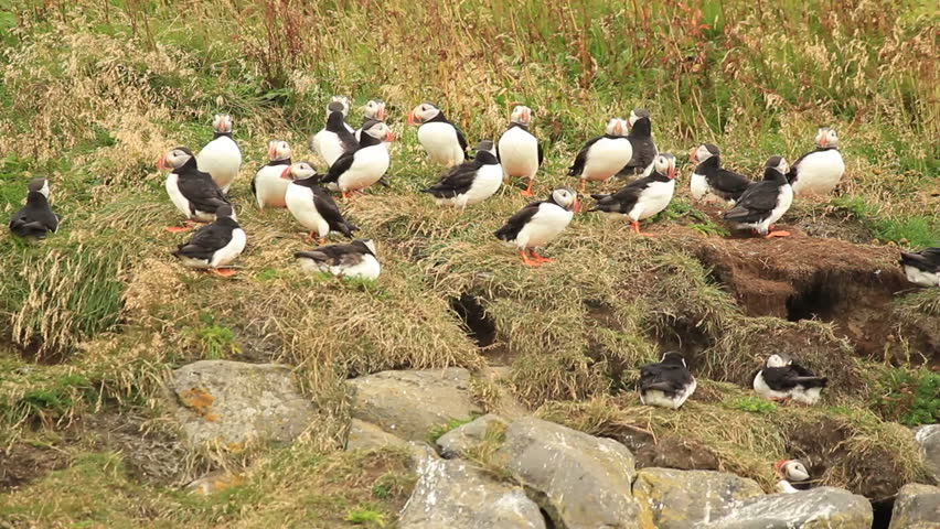 Colony of Atlantic Puffins in heavy storm, close to their caves on Iceland