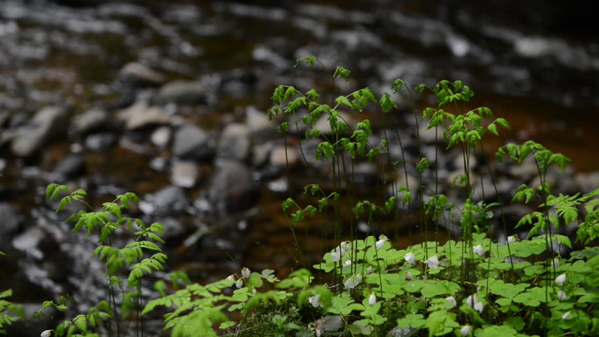 Plants and small river deep in the forest. Some of the old forests are full of the beautiful small rivers. Both sides of the river are full of green plants. | Shutterstock HD Video #16177099