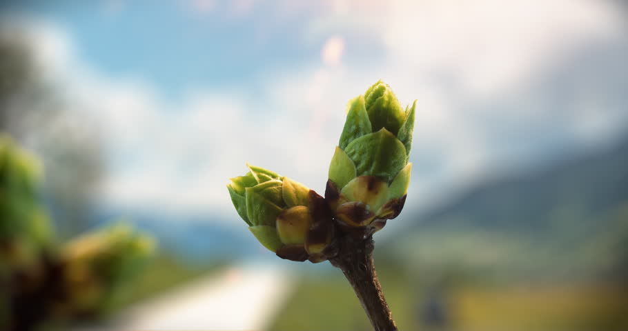 Time-lapse of a bud that unfolds in Spring.