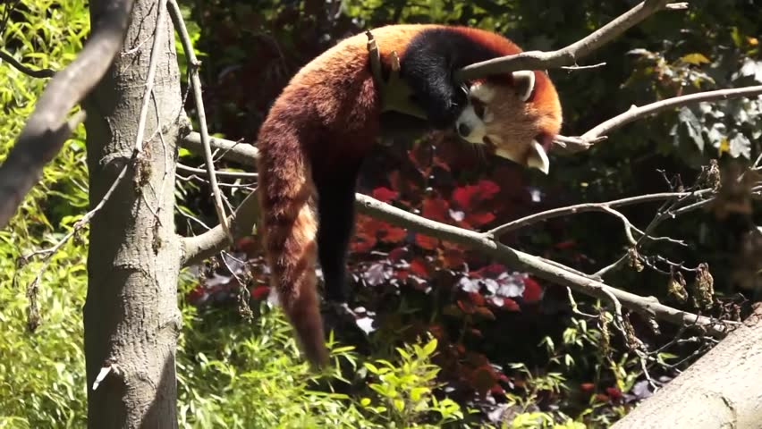 Red panda in a tree