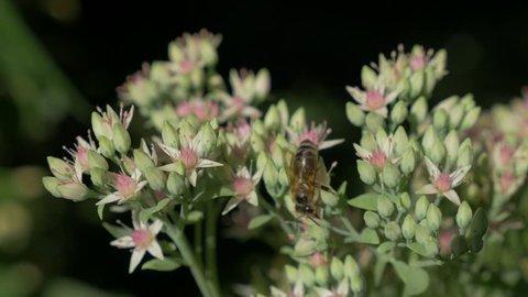 Hylotelephium spectabile flower in the garden discret flowers 4K 3840X2160 30fps UHD footage - Sedum showy stonecrop natural background 4K 2160p UltraHD video