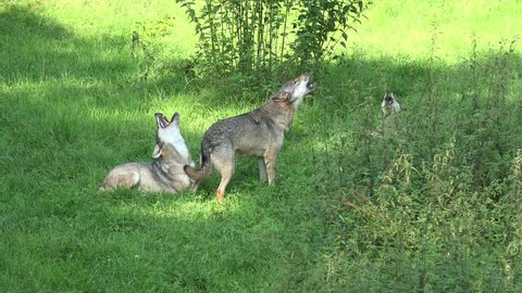 Howling wolves in a grassy forest landscape at a hot sunny summer day. /   Howling wolves in grassy landscape at a sunny summer day
