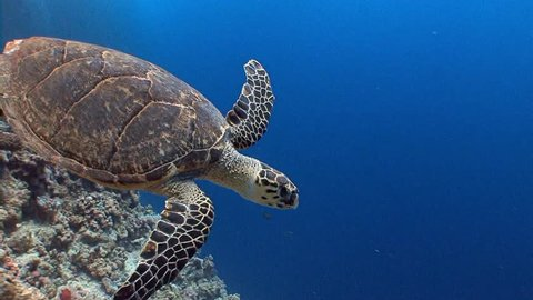 The Hawksbill turtle hovering over a coral reef. Diving in the Red sea near Egypt.