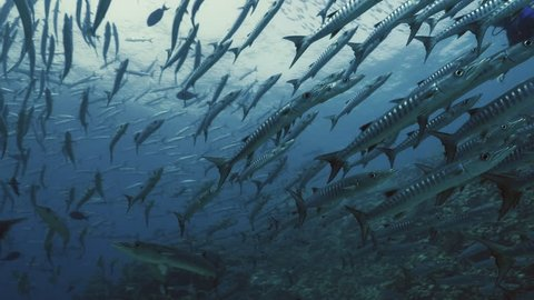 underwater shot of giant school of barracudas swimming over coral reef landscape, Red Sea