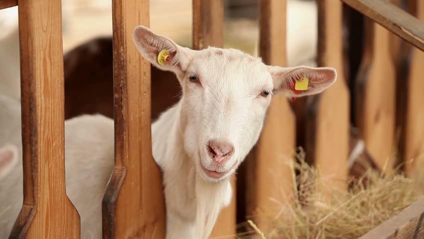 Goat on the goat farm