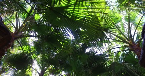 2016 High Quality video (Ultra HD) of a Palm Tree forest shot upwards with a HQ 4K Stabilized Cam. Sunny weather with some clouds. Sun bursts through the leaves.