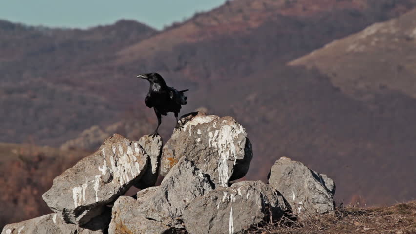 Largest European song bird - Raven (Corvus corax) in action. Footage with birds landing on a mountain slope.