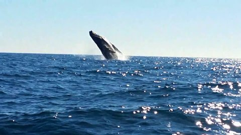 A fascinating boat trip along the California Peninsula jumping out of the water with humpback whales. Mexico.