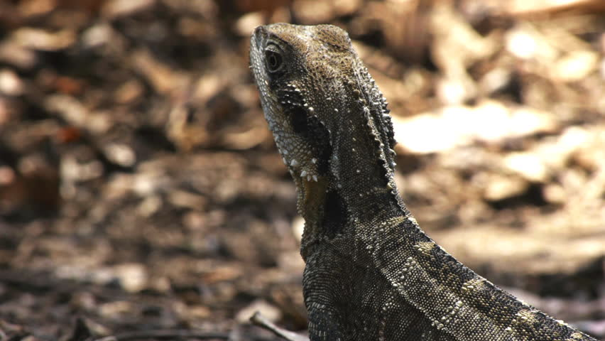 An Australian water dragon lizard.