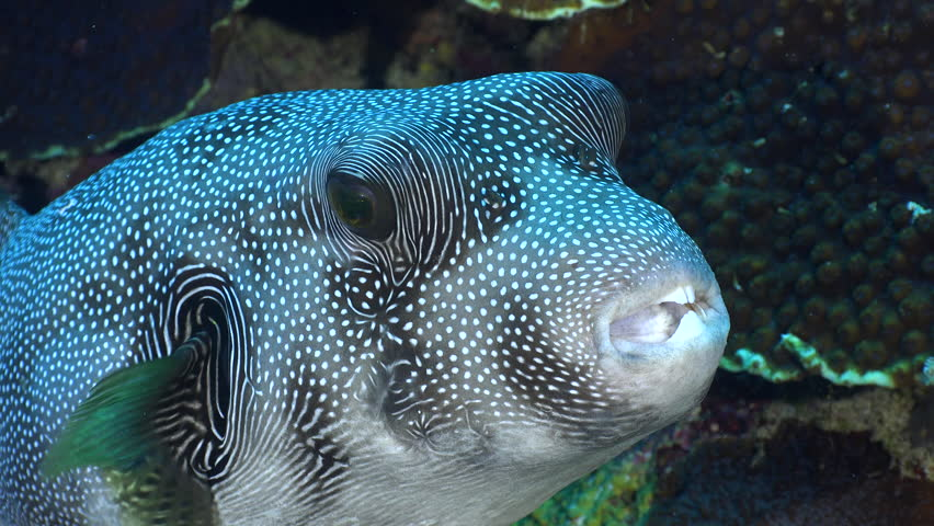 Stellate puffer fish in a coral reef. Arothron stellatus - Red Sea, Sudan Close up for heads.
