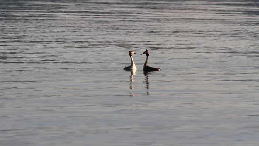 Naturalistic reserve grebe in love moving on water lake #16730719
