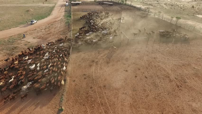 Aerial cattle muster, aerial view in outback Australia, more than 500 cattle  | Shutterstock HD Video #16770979