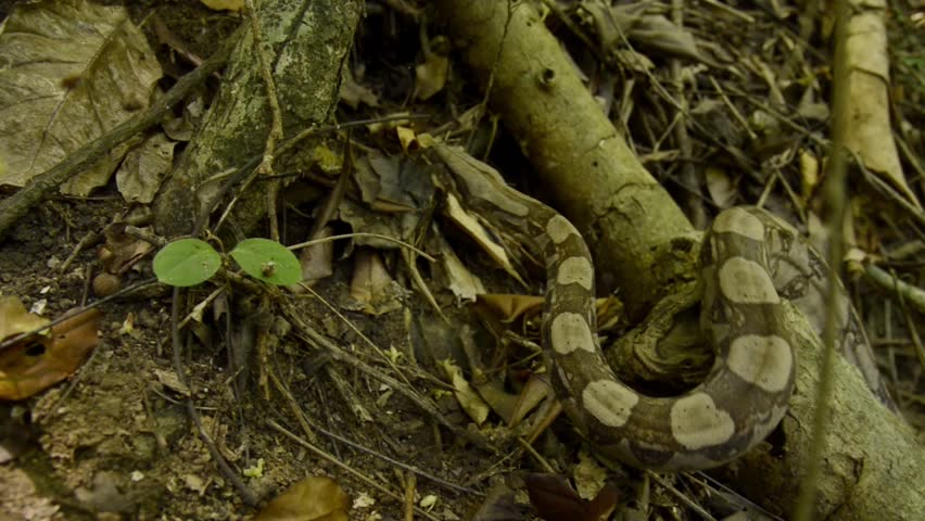 A boa constrictor smoothly creeps between roots.