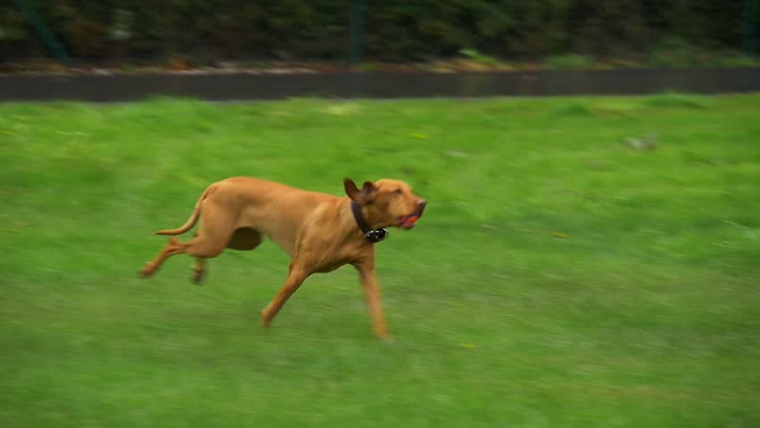 Slow motion of dog running with a ball in his mouth | Shutterstock HD Video #16809979