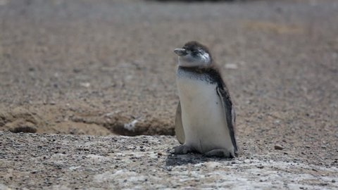 A close-up of a Magellanic penguin chick at Punta Tombo, Argentina