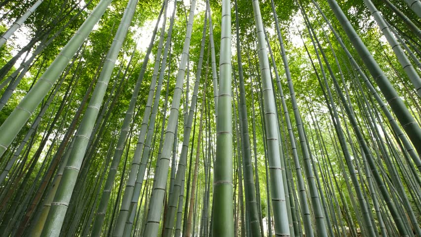 Tilt up view of Bamboo forest, Arashiyama, Kyoto, Japan | Shutterstock HD Video #16813699