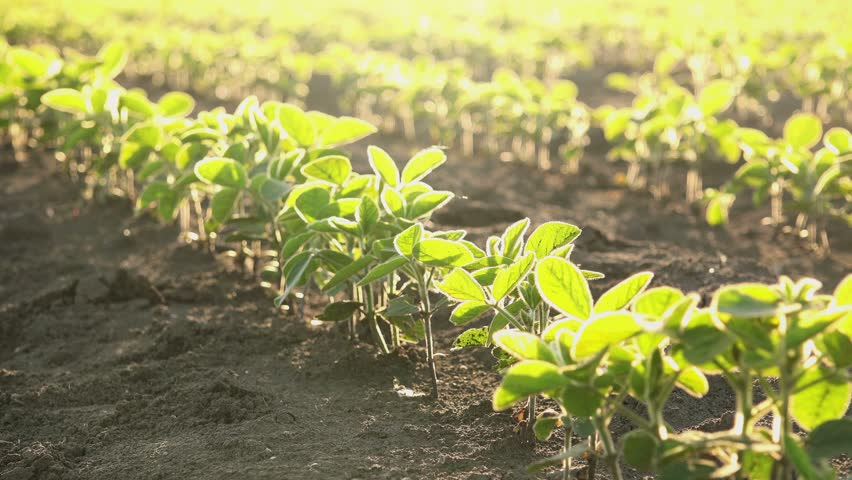 Slider shot of young soybean plants growing in cultivated field, agricultural soy field rows in sunset.