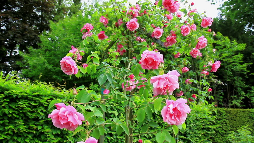 Roses In The Coloma Rose Stock Footage Video 100 Royalty Free