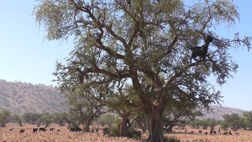 Herd of goats led by shepherd moving through dry landscape of Morocco.These goats have to climb argan trees for food because there is no grass. Establishing shot