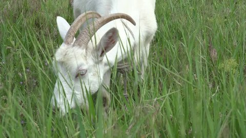 White Young goat grazing on green meadow at edge of hillside
