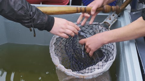 Starlet (sturgeon) is catching and killing before sale on a fish farm