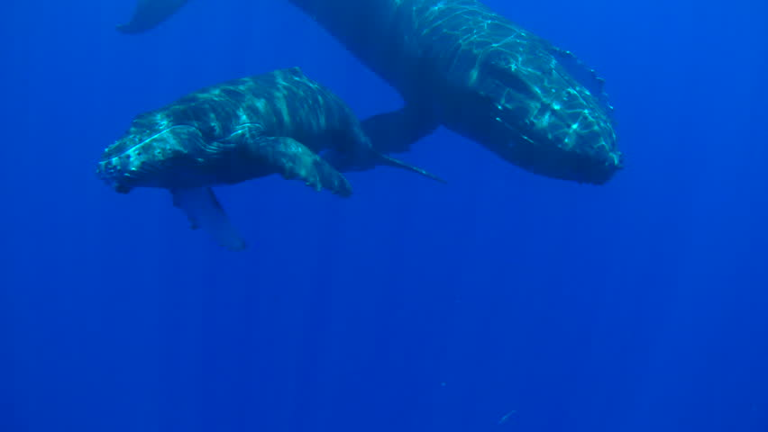POV Swimming With Whales. Mother and Calf Humpback Whales in Hawaii.