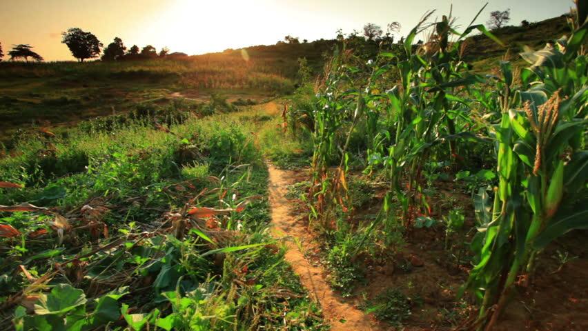 KENYA, AFRICA - CIRCA AUGUST 2010: Two kids run through cornfield at sunset in