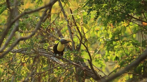 Toucan, Big beak bird Chesnut-mandibled sitting on the branch in tropical rain with green jungle background, animal in the nature habitat, Costa Rica. Exotic bird toucan in the nature habitat.