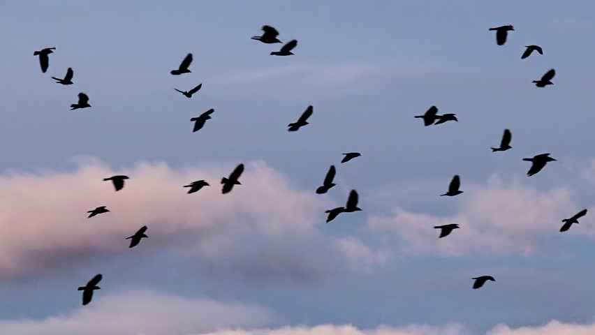 Flying Birds Free Stock Photos Download 3 416 Free Stock: Hundreds Of Birds Flying In The Air Stock Footage Video