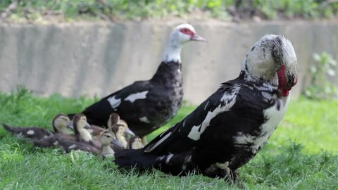 Bird muscovy duck/family adult birds ducklings muscovy duck