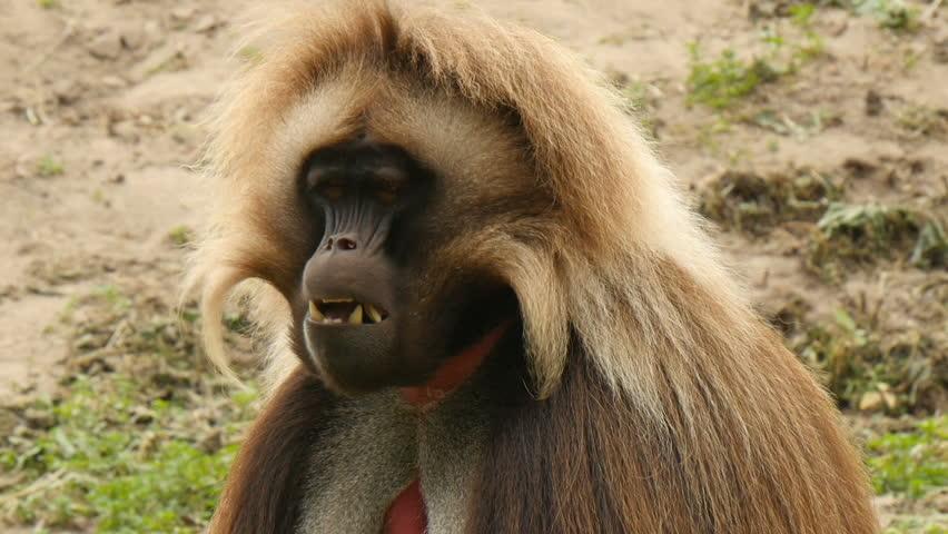 Male gelada(Theropithecus gelada) extreme closeup  eating
